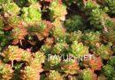 세데베리아속(Sedeveria) 다육식물이란?